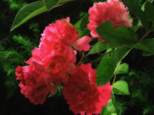 六月のバラ.jpg