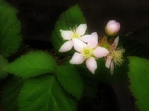 brackberry.jpg